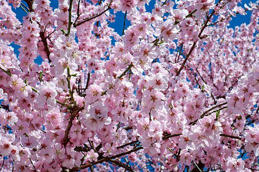 japanese-cherry-trees-2168858__340