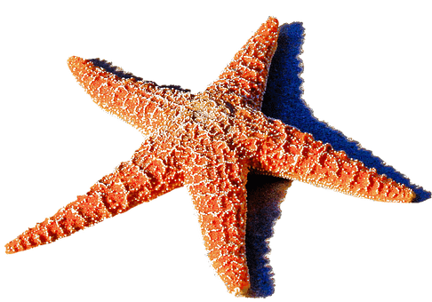 starfish-red-2440384__340