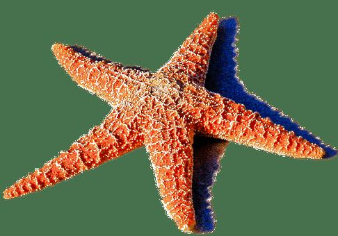starfish-red-2440384__340